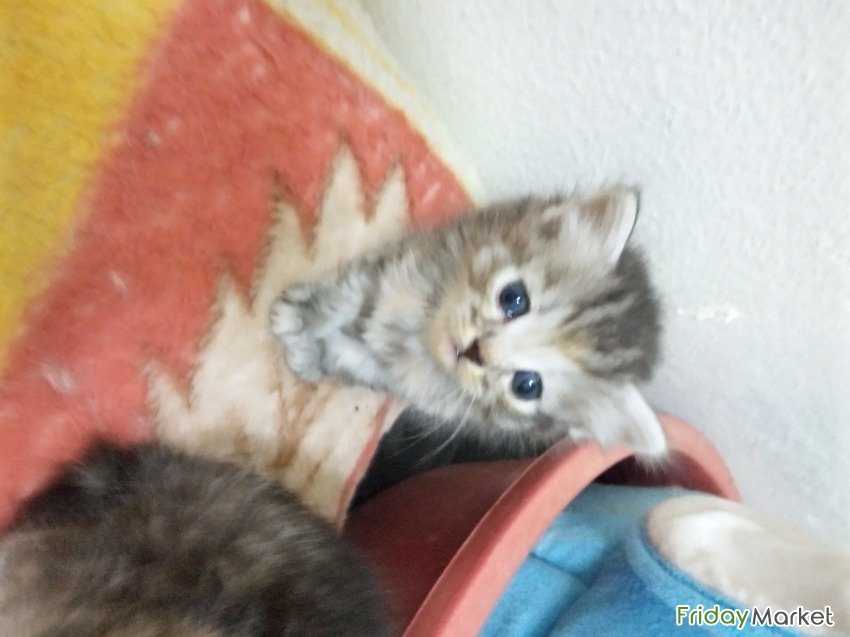 Pure Persian Kitten Riyadh Saudi Arabia